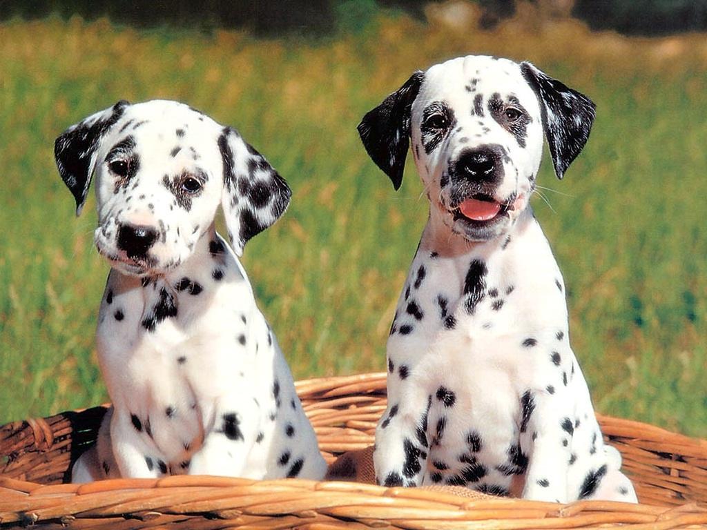 http://2.bp.blogspot.com/-xBh9uN7rz0Y/Tqk2sHH2Y1I/AAAAAAAAAS8/dOiv5oTMidQ/s1600/dog_wallpapers_114.jpg