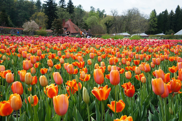 public domain picture of tulips
