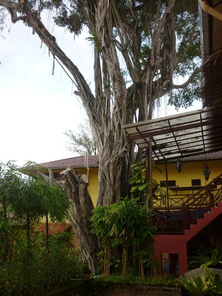 lost paradise resort feringghi, pokok tertua di feringghi