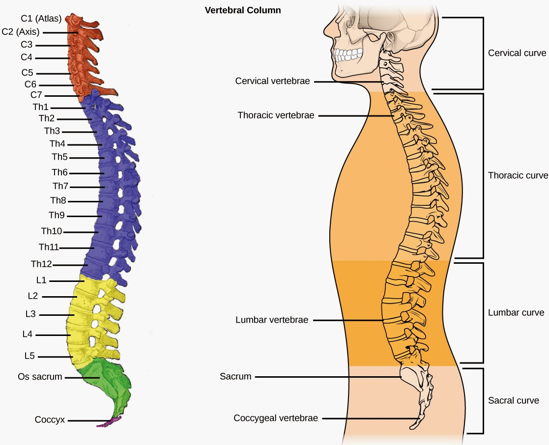Ciencias de Joseleg: La columna vertebral humana y la caja torácica