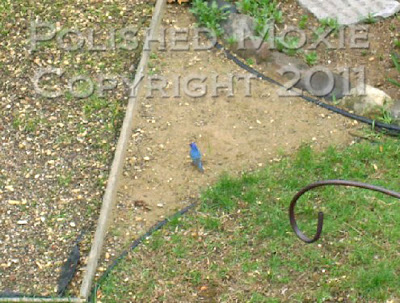 Picture of an indigo bunting in a bird feeding area