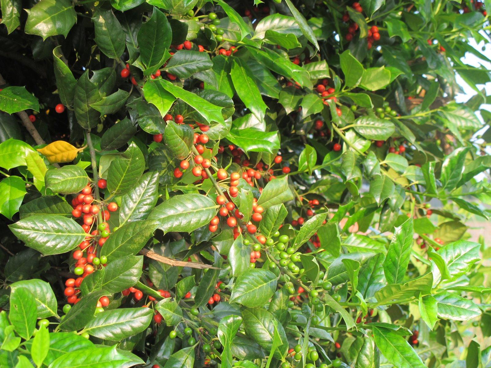 Ilex Aquifolium L.   Aquifoliaceae   Agrifoglio, Alloro Spinoso