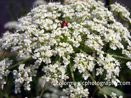 Queen Anne's lace-close up-Daucus carota