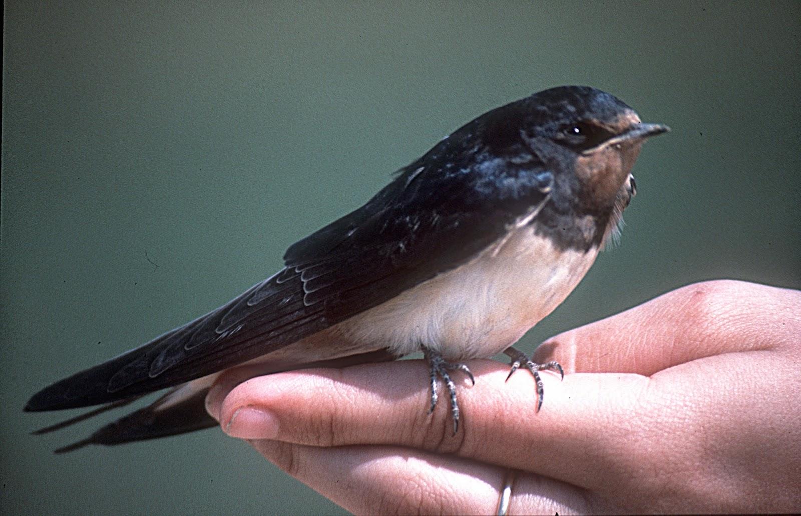 Golondrina común. Hirundo rustica