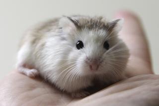 roborovski white face
