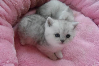 Como cuidar de un gatito