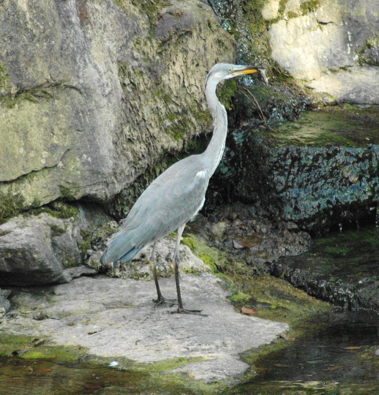 Un blog sobre ampuero y otros lugares cercanos garza en for Pozos para peces