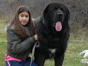 Tibetan Mastiff. Male CH. URGON BOHEMIA SIRAGUE 31.12.2008 height : 75 cm