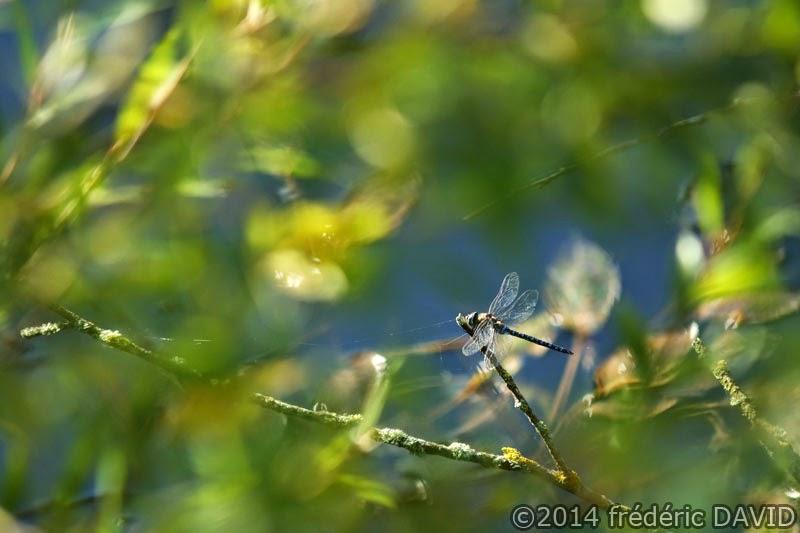animaux insecte libellule macro Champmorin Seine-et-Marne