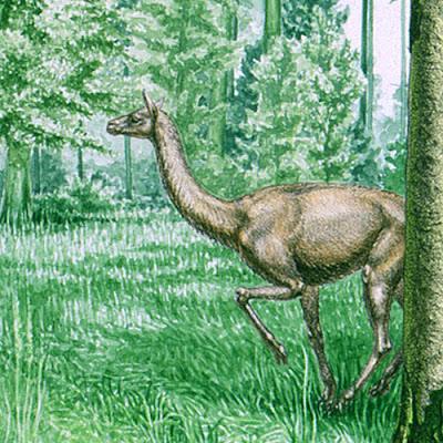 camellos extintos Floridatragulus