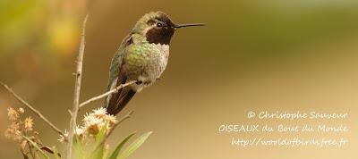 colibri de Anna Calypte anna