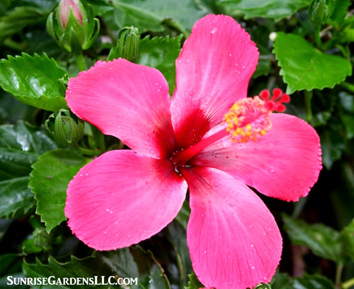 So You Overwintered Your Hibiscus Now What Sunrise Gardens Blog