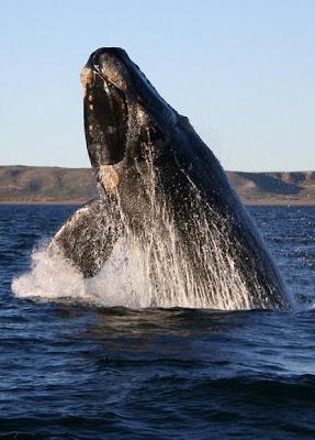 ballena franca austral peninsula valdes