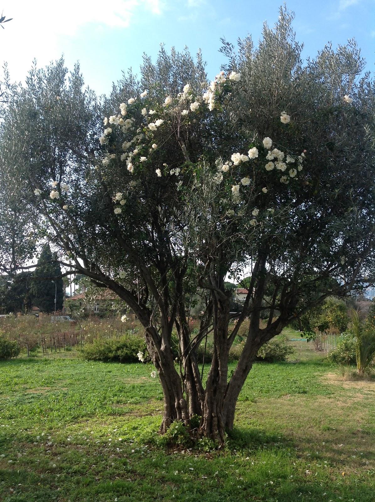 L 39 atelier du jardinage waouh un rosier grimpant en fleurs en janvier - Quand planter un rosier ...