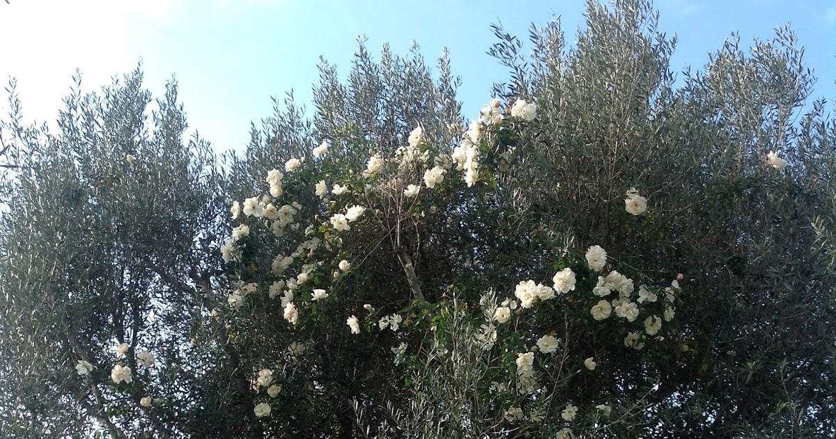 L 39 atelier du jardinage waouh un rosier grimpant en Jardinage en janvier