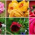 Las mas bonitas rosas y flores blancas y amarillas para adornar nuestro facebook.