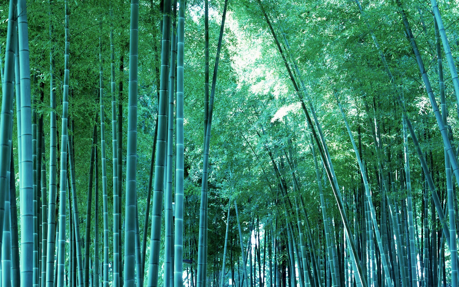Hd wallpapers bamboo tree wallpapers hd for Bamboo wallpaper