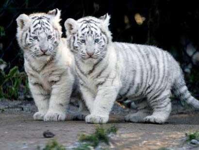 http://2.bp.blogspot.com/-xFlyZik2dAM/Tnhsd5tbrmI/AAAAAAAAA58/KhNG2Sgfeho/s1600/cute_tigers+1.jpg