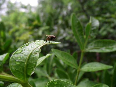 mosca pousada sobre uma folha após uma tarde chuvosa
