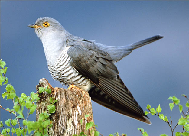 Cuckoo  Simple English Wikipedia the free encyclopedia