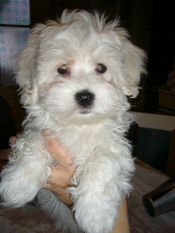 include the Maltese and the Tenerife Bichon, from the Canary Islands