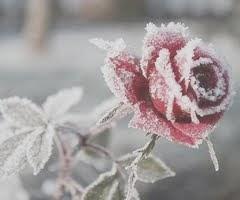 La rosa en el invierno