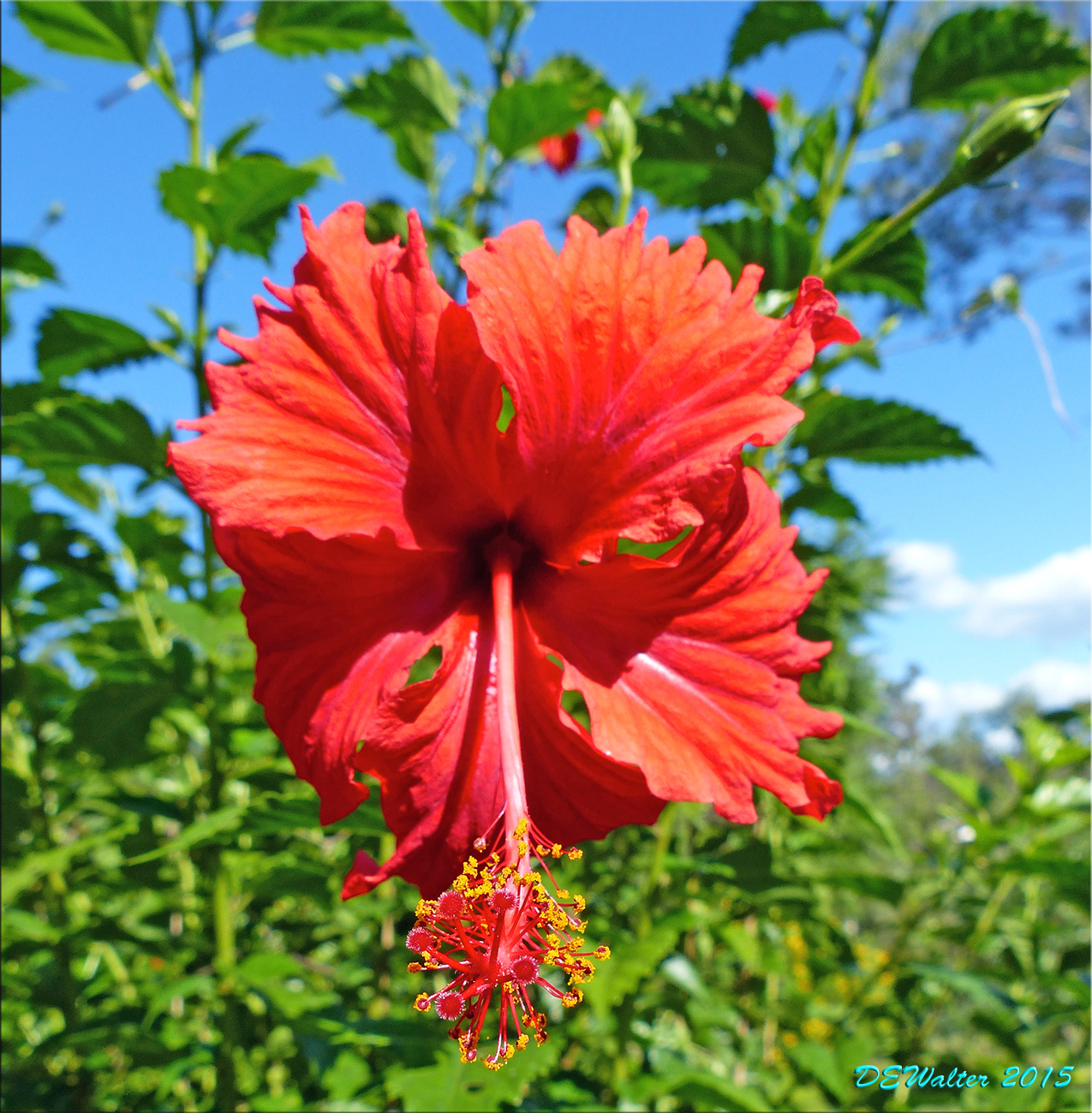 The home bug garden hibiscus rosa sinensis psyche the only one with a tag izmirmasajfo
