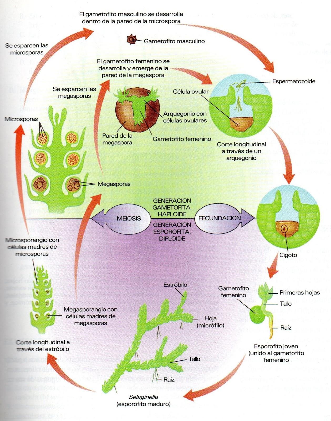 Para el siguiente nivel de clasificación denominadas plantas