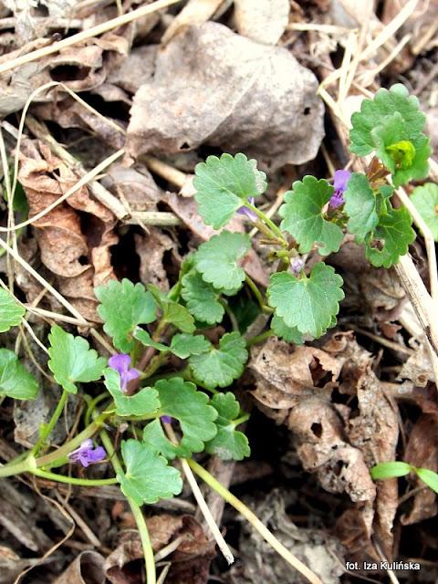 bluszczyk-kurdybanek-chwasty-przyprawa-roślina