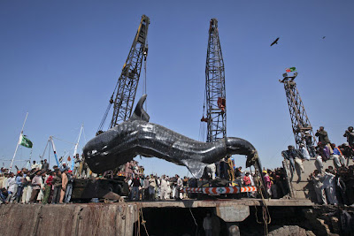 O maior tubarão do mundo