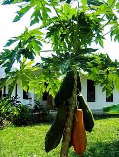 pohon pepaya pendek berbuah lebat