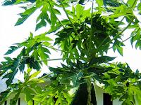 Rahasia Agar Pohon Pepaya Pendek Berbuah Lebat dan Cepat