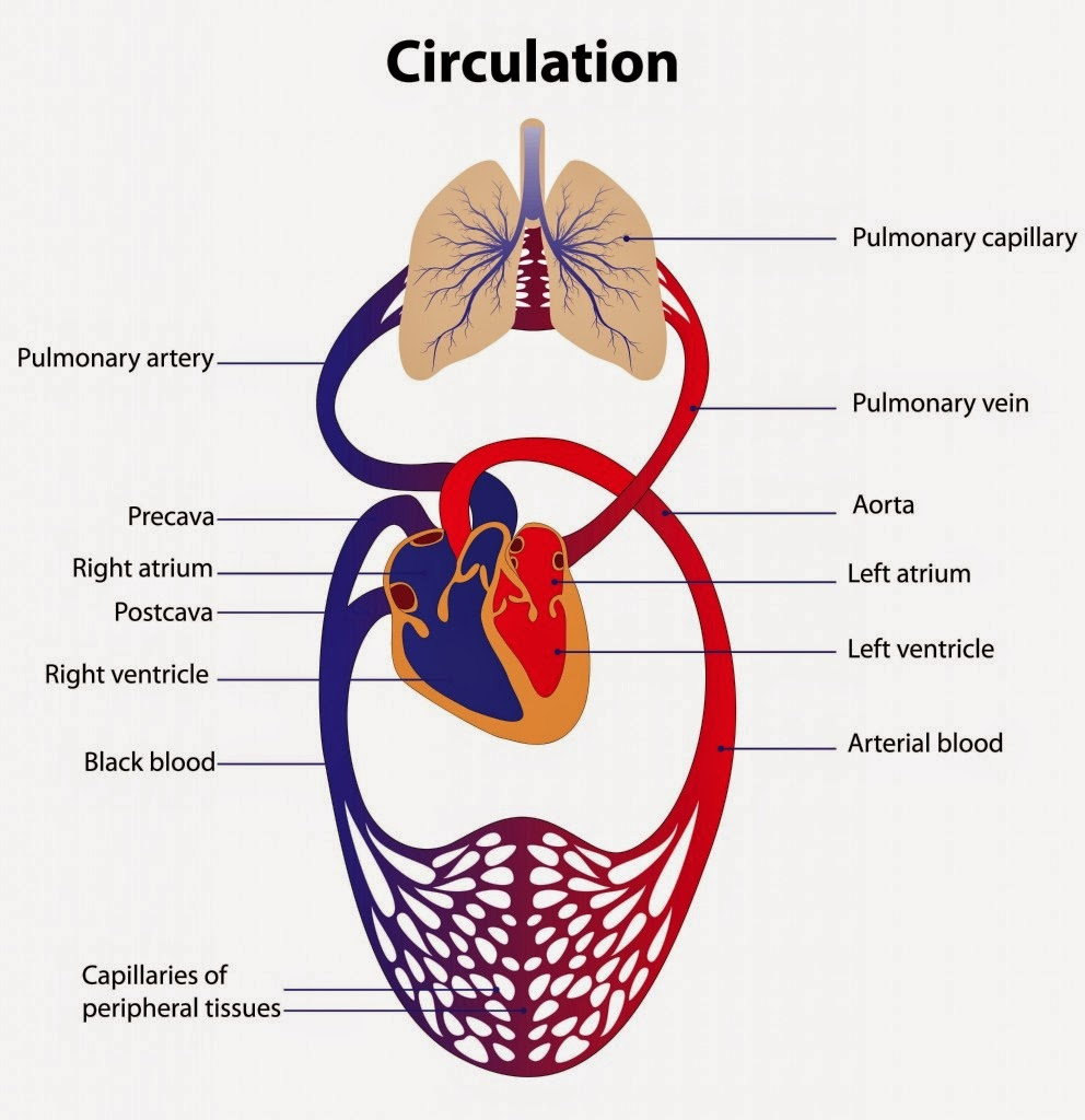 cariovascular system The cardiovascular system is composed of the heart and the network of arteries, veins, and capillaries that transport blood throughout the body the average adult male has between 5 to 6.