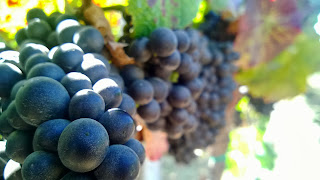 Clusters of Pinot Grapes. Santa Maria Valley.