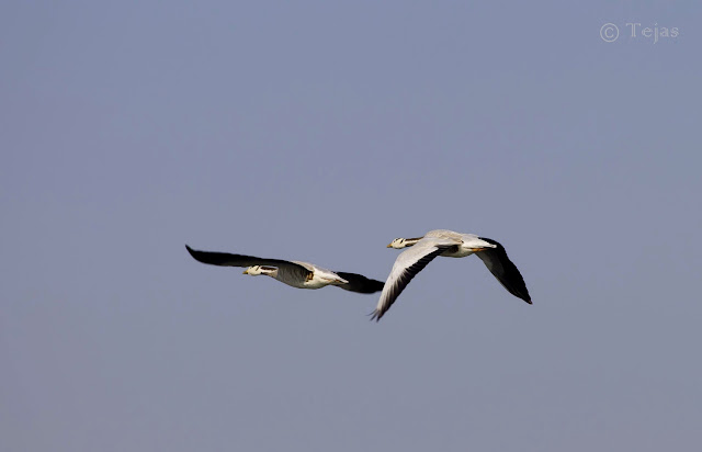 Bar-headed Goose in flight