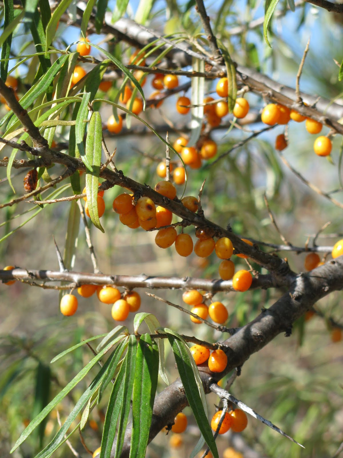 Shim farm a sea buckthorn primer - Growing sea buckthorn ...