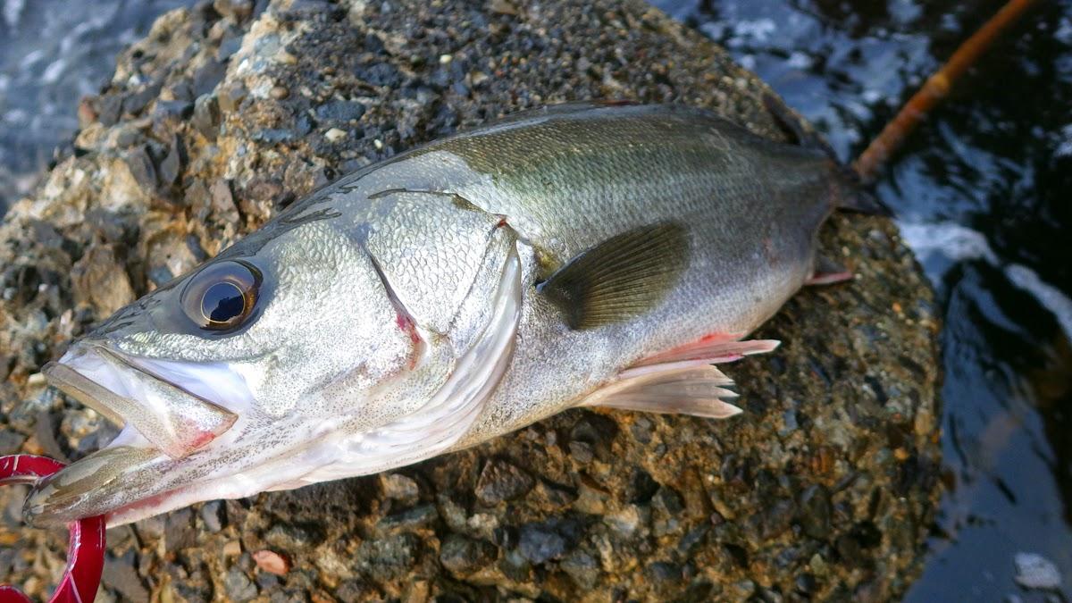 シーバス 湾奥 BAKUREE FISH86