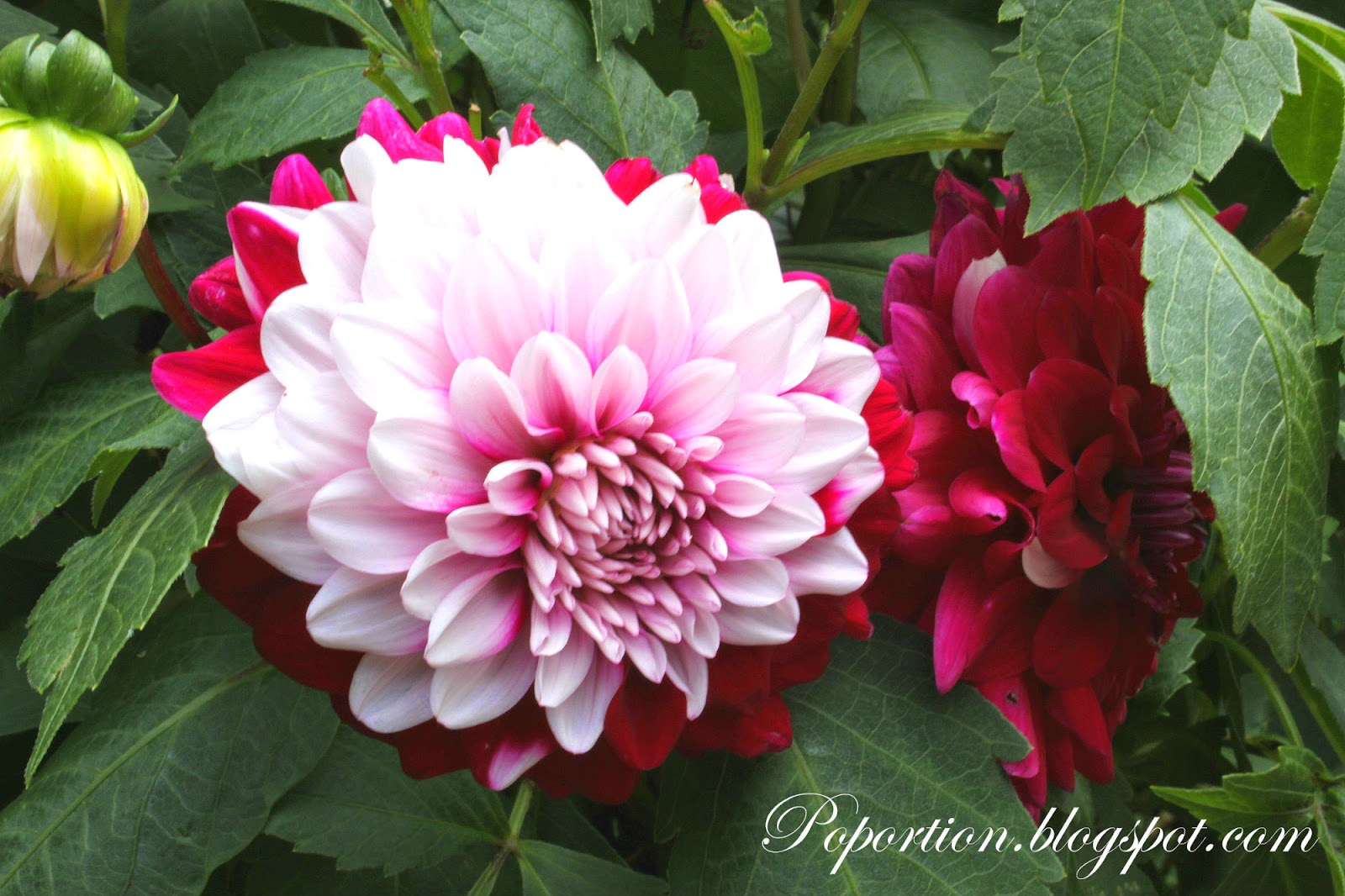 pink and red flower in bloom