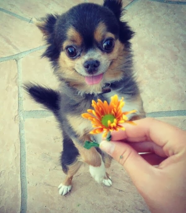 Cute dogs (50 pics), dog pictures, happy dog receives flower from human