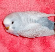 2 month old budgie chick