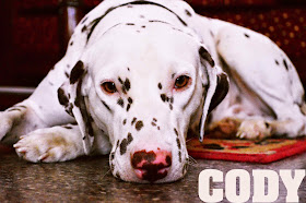 Cody dog dalmatian