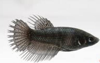 Crowntail plakat female Dragon Betta fish