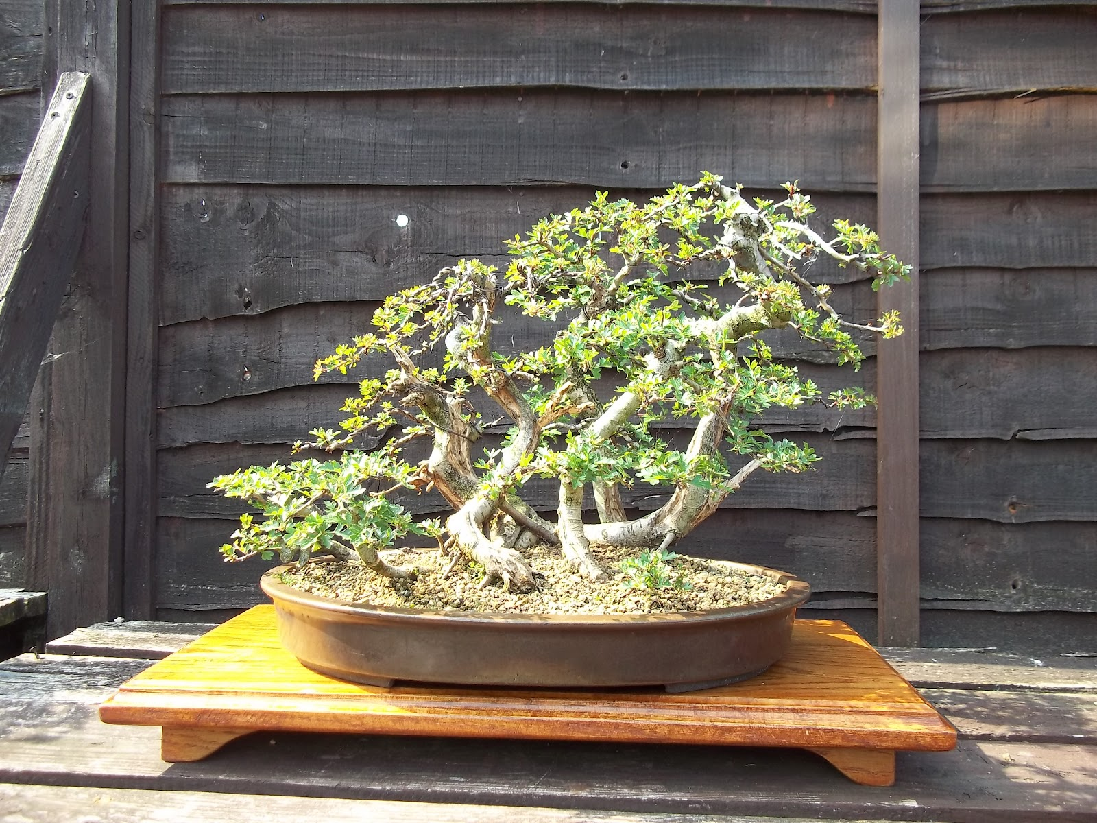 Ronin Bonsai May 2012