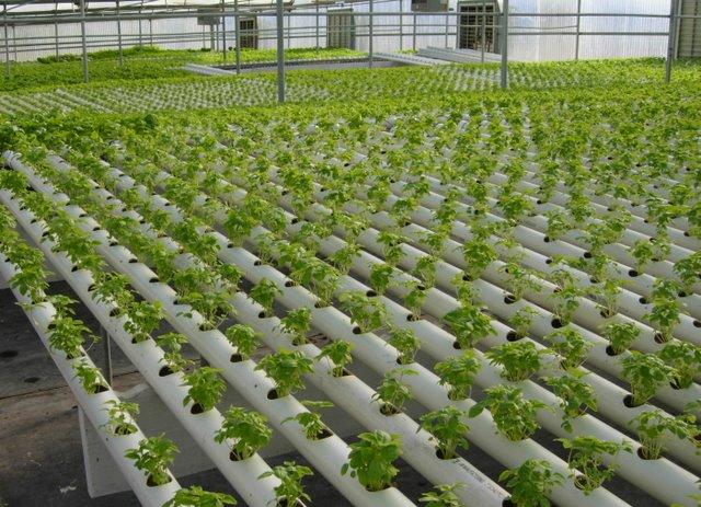 Clasificaci n de los sistemas de cultivo hidrop nico i for Imagenes de hidroponia