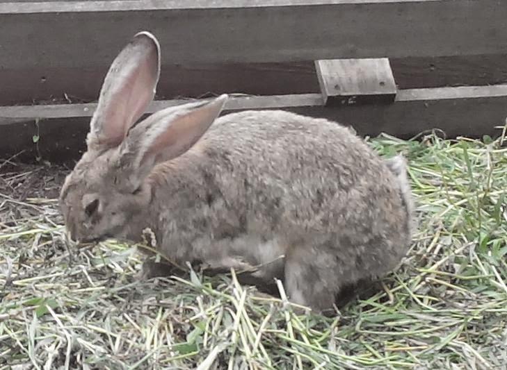 Снова кролик