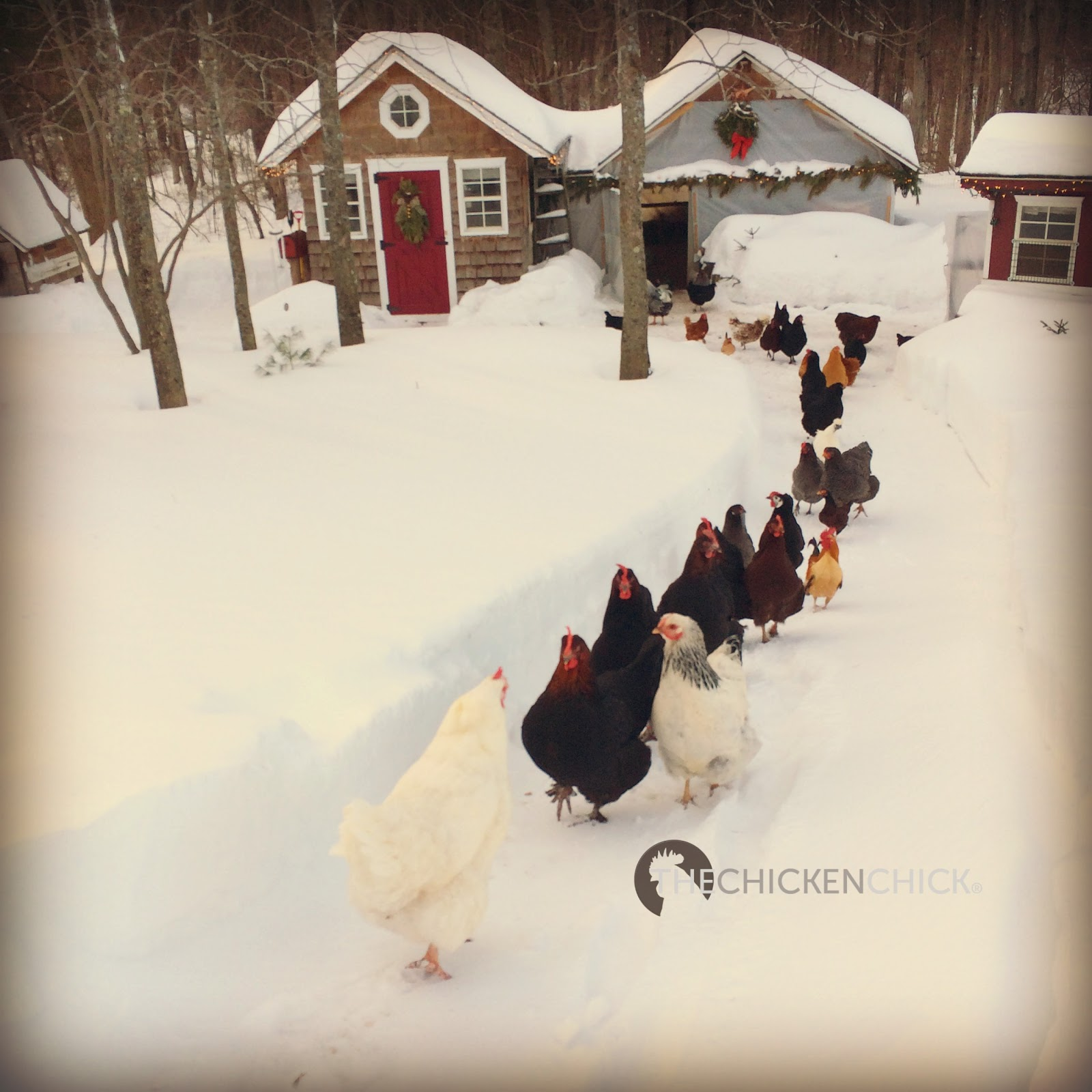the chicken surviving winter with chickens