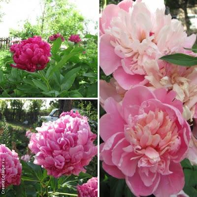пионы, розовые пионы, цветы