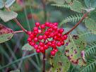 Detall del fruit, en forma de drupa vermella, del tortellatge