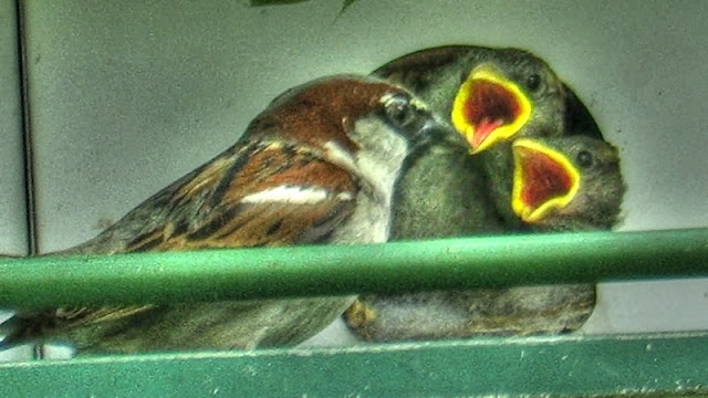 House Sparrows Feeding Babies in Nest