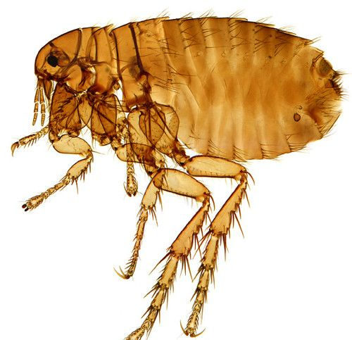Types of fleas that can feed on humans